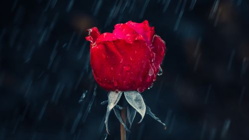 Red rose at the rain HD Wallpaper