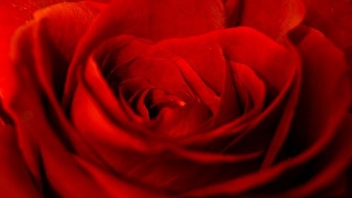 Red rose close up HD Wallpaper