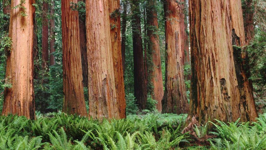 Redwood Forest HD Wallpaper
