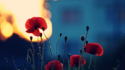 Remembrance poppy HD Wallpaper
