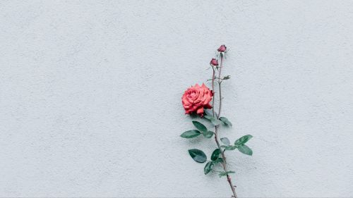 Rose at a white wall HD Wallpaper
