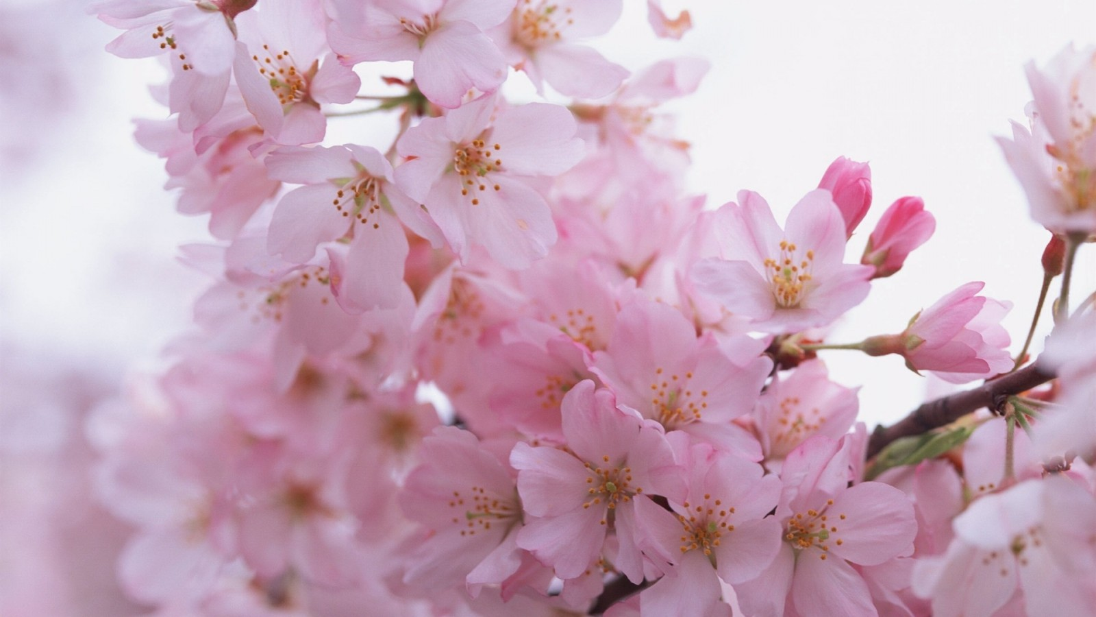 Sakura Petals HD Wallpaper