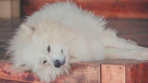 Samoyed Dog resting HD Wallpaper
