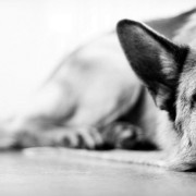 Sleeping German Shepherd Wallpaper for Desktop and Mobiles