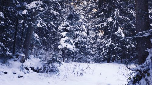Snow covering forest trees HD Wallpaper