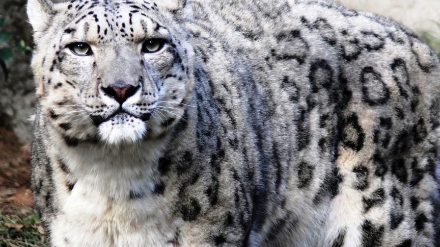 Snow Leopard Hd Wallpaper Wallpapers Net