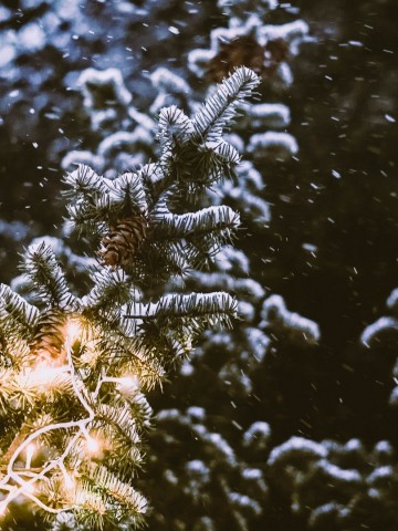 Snowfall over spruce branches HD Wallpaper