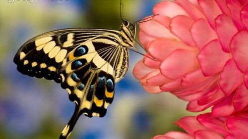 Swallowtail HD Wallpaper