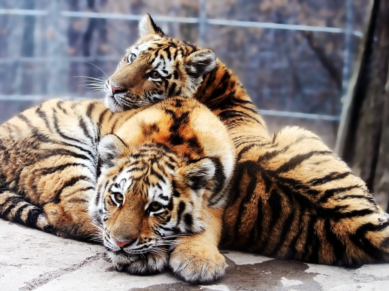 Tiger and baby tiger HD Wallpaper