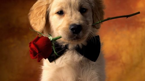 Valentine dog with red rose HD Wallpaper