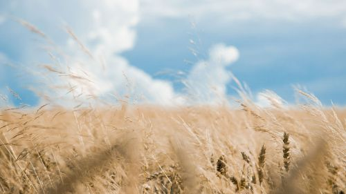 Wheat Cereal Field HD Wallpaper