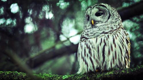 White Owl HD Wallpaper