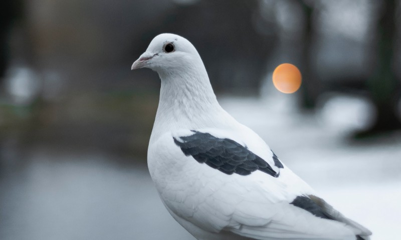 White pigeon HD Wallpaper