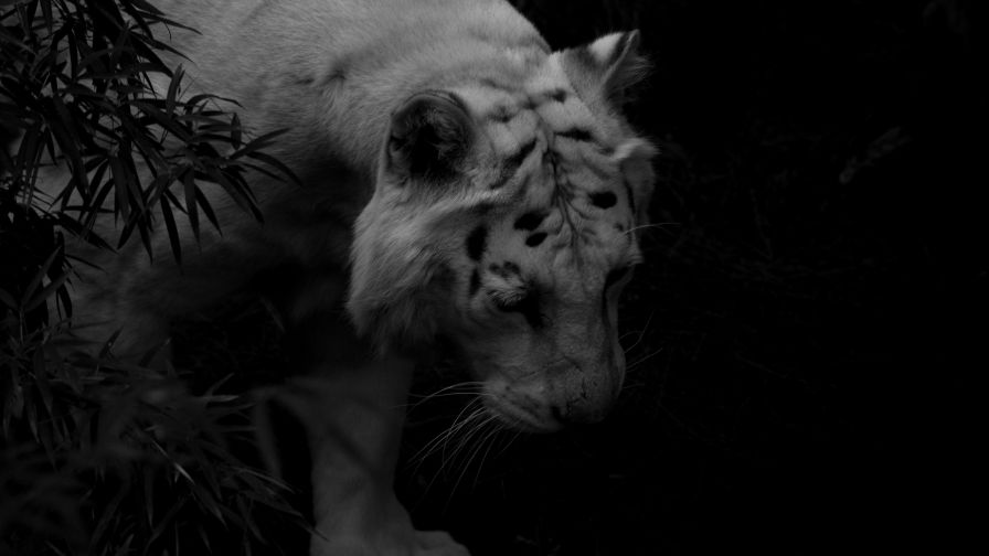 White tiger at dark backround HD Wallpaper