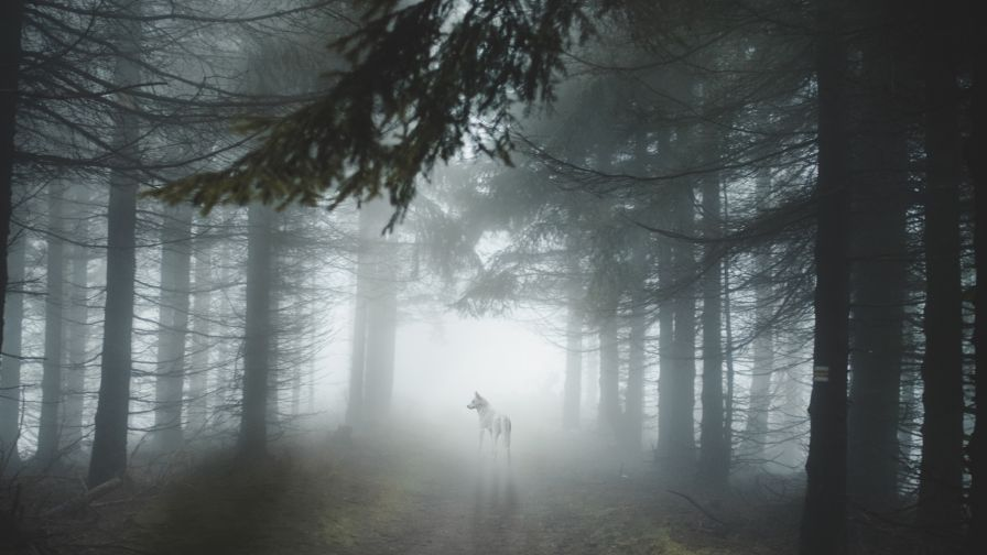 Wolf staring on a foggy forest HD Wallpaper - Wallpapers.net