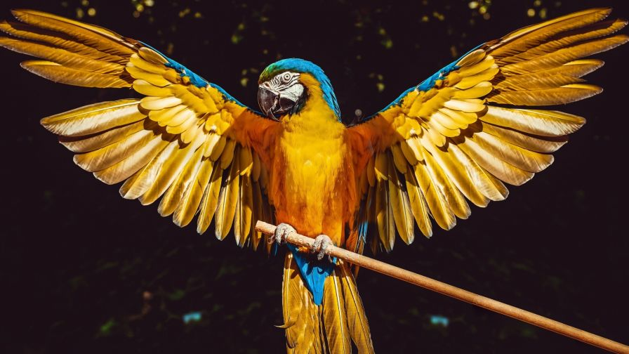 Yellow parrot with open wings HD Wallpaper