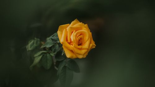 Yellow rose flower HD Wallpaper