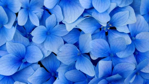 Blue petaled flowers HD Wallpaper