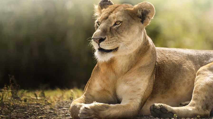 Free Download African Lion Wallpaper in HD - Wallpapers.net