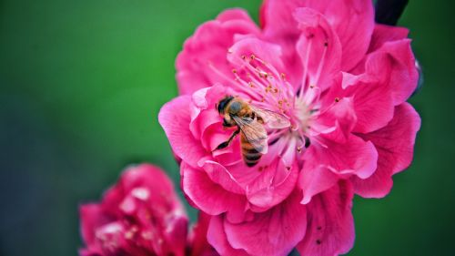 Pollination of a pink flower HD Wallpaper