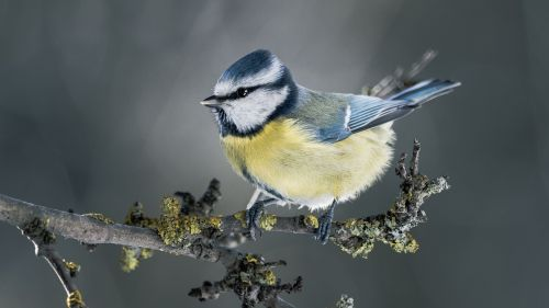 Tit bird HD Wallpaper