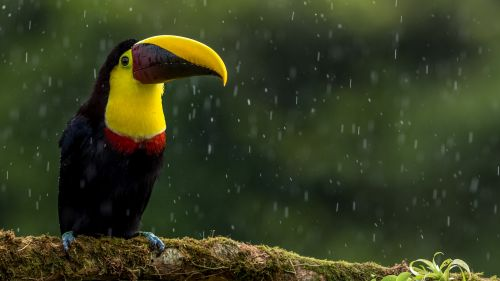 Toucan HD Wallpaper
