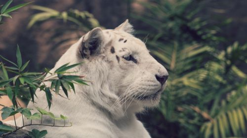 White tiger looking HD Wallpaper