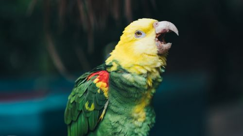 Yellow headed parrot HD Wallpaper