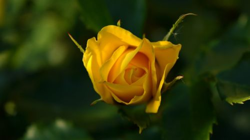 Yellow rose close-up HD Wallpaper